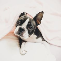 """889 Likes, 71 Comments - Trinity The Boston Terrier (@trinity.approved) on Instagram: """"I'm trying to be better then yesterday. Yesterday I've spent way too little time in bed.…"""""""
