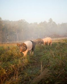 Pigs on pasture. Great article about pasture rotation system for pigs that is environmentally friendly.