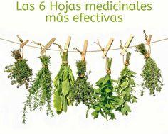 Las 6 Hojas Medicinales Más Efectivas Para Tu Salud. La