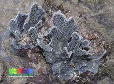 Blue spatula sponge   (Lamellodysidea herbacea)