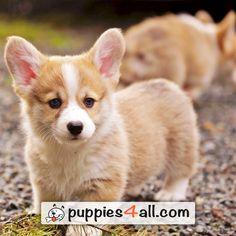 Petland Orlando East has Pembroke Welsh Corgi puppies for sale! Interested in finding out more about the Pembroke Welsh Corgi? Corgi Puppies For Sale, Cute Corgi Puppy, Pembroke Welsh Corgi Puppies, Corgi Dog, Cute Dogs And Puppies, Pet Dogs, Husky Puppy, Korgi Puppies, Corgis For Sale
