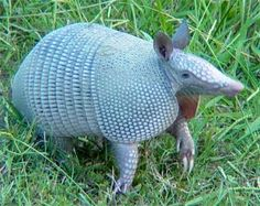 The Texas state mascot is the Armadillo (armadillos always have four babies. They have one egg, which splits into four, and they either have four males or four females.).