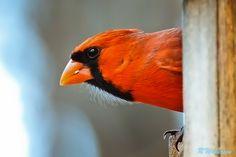 Peek a Boo I see You  #cardinal #bird #photo #photography