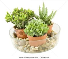 tock Photo:   Succulent plants arrangement with stones in glass bowl