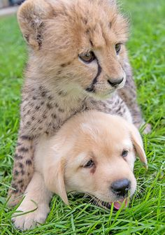 Cheetahs Are So Shy That Zoos Give Them Their Own Emotional - Cheetahs can be so shy that zoos give them emotional support dogs