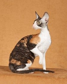 Cornish Rex are among the most popular cat breeds registered with the Cat Fanciers' Association. Also one of the best cat breeds i have ever had. Incredibly friendly and loving. I want one Soo bad! Most Popular Cat Breeds, Best Cat Breeds, Selkirk Rex, Devon Rex Katzen, Domestic Cat Breeds, Devon Rex Cats, Cornish Rex Cat, Cat Character, Cool Cats