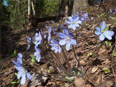 Печеночница благородная (Hepatica nobilis)
