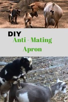 Keep your bucks and does together without unwanted breeding. Use (or make your own) goat anti-mating apron. Breeding Goats, It's Easy, Aprons, Times, Number, Simple, Dogs, Animals, Animales