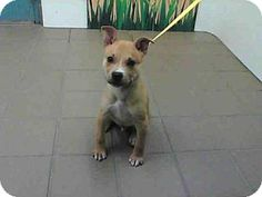 Albuquerque, NM - Australian Shepherd Mix. Meet MISTLETOE, a puppy for adoption. http://www.adoptapet.com/pet/14636973-albuquerque-new-mexico-australian-shepherd-mix