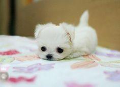 Perrito blanco muy pequeño en una cama