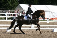#Finnhorse stallion Sumiainen doing dressage.