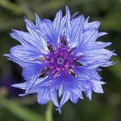 Aciano, la flor azul que palia la conjuntivitis y los orzuelos