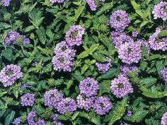 blue queen salvia Houston Garden Center Flowers for my Garden