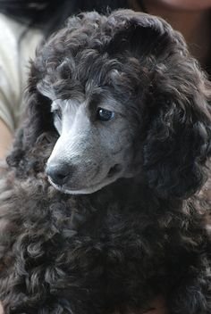 silver poodle puppy