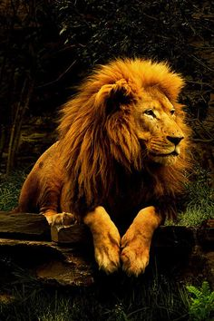 Stunning lion portrait.......