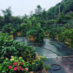 seasons harvest in the veggie garden!! #cookingwithzac