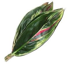 Ti Leaf- variegated  Mayesh Wholesale Florists