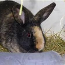 Mable came in with her two sisters, Marigold (8867) and Martha (8865). She can go home with one of her sisters as a pair, or can be rehomed to someone who owns a single neutered male rabbit. Mable is a friendly girl who is very inquisitive and loves to explore her enrichment. She also enjoys her food and loves her veg as a treat.
