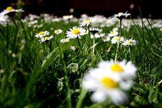 Daisy Gazing by Rhi B, via Flickr
