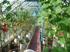 Выращивание томатов в ведрах | Природное земледелие