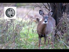 Filmmaking, Mammals, Habitats, Kangaroo, North America, Behavior, Deer, Wildlife, Films