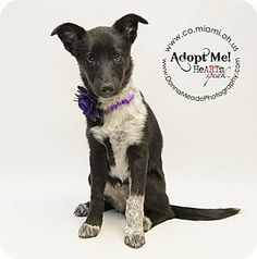 URGENT!  I am at a kill shelter in Troy, OH - Collie/Sheltie, Shetland Sheepdog Mix. Meet Rose, a puppy for adoption. http://www.adoptapet.com/pet/10921335-troy-ohio-collie-mix