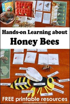 June - Honey Bees Unit Study - Hands-on learning about Honey Bees - FREE PRINTABLE Montessori Inspired Life Cycle cards and Honey Bee Anatomy Template plus book suggestions. Montessori Science, Preschool Science, Science Classroom, Science Fair, Teaching Science, Preschool Cooking, Citizen Science, Hands On Learning, Kids Learning