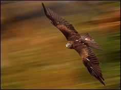 Red Kite (Milvus milvus) by Ronald Coulter on 500px