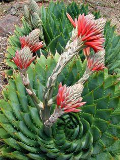 National Flowers of World Countries.. Lesotho ( Spiral Aloe ) www.facebook.com/flowerofworld www.flowerhomes.blogspot.com