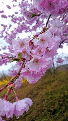 Весенние Цветы, Цветущие Деревья, Цветки Вишни, Озеленение, Природа, Сад, Все, Красивые Сады