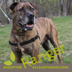 Ranger is ready to adventure with his permanent person. He's been looking for just over 2 years and its totally his time! He's a lovely dog and a big beautiful brindle goofball with a fondness for tennis balls. Sound like he belongs in your home? He is currently being cared for by our friends at  Animal Ark MN.  Learn about Ranger by visiting their site for more info…