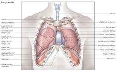 Human Lungs Diagram Lobes HLD07