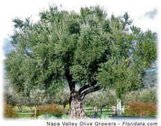 Arbequina olive tree. The cold-hardiest olives.