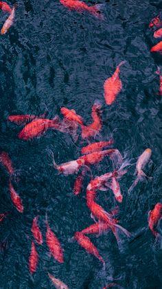 Fundo de tela de carpas japonesas. Confira no link outras imagens e aprenda a baixá-las do Pinterest!  #background #papeldeparede #nature