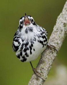 シロクロアメリカムシクイ  Black-and-white warbler (Mniotilta varia)