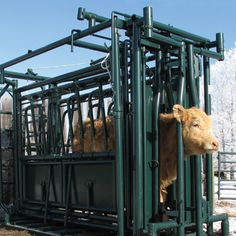 Cattle handling is easier with Hi-Hog's self-catch cattle squeeze chute with neck extender. The neck extender makes for safer neck injections, ear tagging, and more. Cattle Corrals, Show Cattle, Future Farms, Ranch Life, Down On The Farm, Livestock, Farm Life, Farming, Homestead