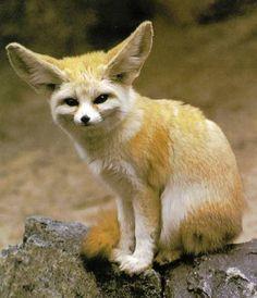 Google Image Result for http://s3-ak.buzzfed.com/static/imagebuzz/web02/2009/5/8/23/this-is-a-fennec-fox-its-a-real-animal-and-not-28601-1241840153-7.jpg