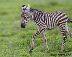 i love zebras they are such neat animals. Big Animals, Fluffy Animals, Cute Baby Animals, Pinterest Cute, Yeezy, Zebra Cartoon, Zebra Drawing, Baby Zebra, In The Zoo