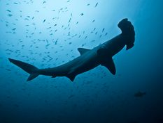 Le requin-marteau halicorne, le Scalloped hammerhead shark (Sphyrna lewini en latin), un requin un peu timide!