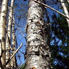 How to make birch syrup at home. Or Walnut, Elder, Sycamore, Beechnut, Alder...