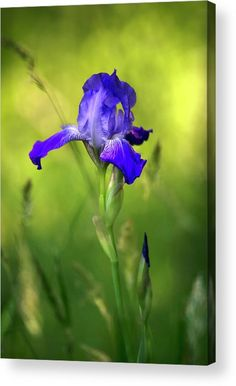 Violet Iris Acrylic Print by Christina Rollo. All acrylic prints are professionally printed, packaged, and shipped within 3 - 4 business days and delivered ready-to-hang on your wall. Choose from multiple sizes and mounting options.