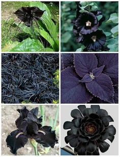 15 Best Black Flowers To Add Depth And Drama To Your Garden 3. Black Baccara Rose A twist on a classic is the Black Baccara Rose. When young, their green foliage will be reddish and will grow darker in colder weather. They are not known for having much of a scent, but my goodness, are they beautiful. They will last up to two weeks if clipped and placed in a vase, but honestly I would much rather let them grow freely in a garden. Get these seeds here:Black Baccara Rose 4. Black Beauty…