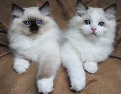 Ragdoll kittens - Seal mitted and blue bicolour. A pair of sweeties.:) - Tap the link now to see all of our cool cat collections!