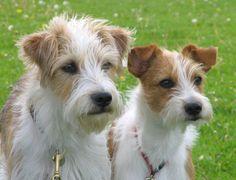Kromfohrländer dogs faces photo