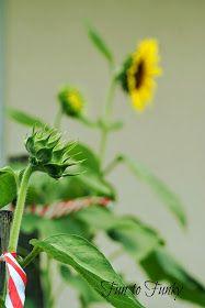 Fun to Funky: Mammoth Sunflowers + My Tips! Mammoth Sunflower, Thunderstorms, Sunflowers, Herbs, Garden, Water, Tips, Plants, Fun