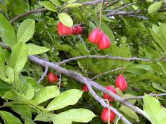 fruit+trees&+their+names | Ackee fruit is said to have a flavor that is a little like eggs and ...