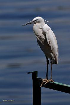 Little Egret (I assume) Nile  Egypt