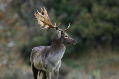 Fallow deer. In New Zealand