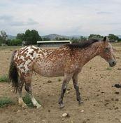 Diamond -Colorado Horse Rescue