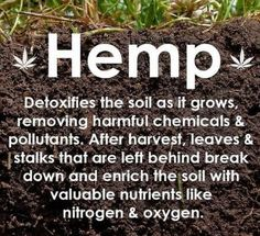 they use it to de-nuke Chernoble- Hemp detoxifies the soil as it grows, removing harmful chemicals & pollutants. After harvest, leaves & stalks that are left behind break down & enrich the soil with valuable nutrients like nitrogen & oxygen. Endocannabinoid System, Cbd Hemp Oil, Oil Benefits, Health Benefits, Medical Cannabis, Cannabis Oil, Thing 1, Science, Good To Know